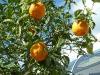 Reife Apfelsinen