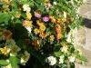 Wandelröschen - es ist schon Frühling