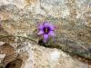 Mauerblümchen im Felsgestein am Kap...