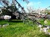Mandelblütenzweig