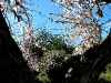Mandelblüten im Gegenlicht