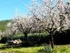 Plantage mit Mandelbäumen