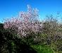 Rosa Mandelblütenbaum