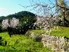 ... mit Mandelbäumen
