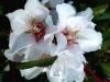 Blüten des Mandelbaums