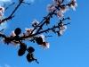 Zweig mit Blüten und alten Mandelfrüchten