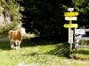 Achtung! Freilaufende Kühe