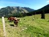 Kühe auf der Almwiese