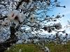 Mandelblütenbäume am Wegesrand