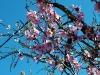 Rosa Mandelblüten