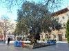 ... mit dem 1000-jähr. Olivenbaum