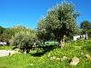 Olivenbaum nahe am Markt