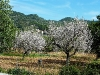 Mandelbaum am Wegesrand