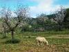 Mandelblütengarten mit Schafen