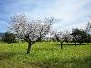 Mandelblütenplantage