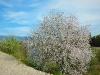 Mandelblütenbusch