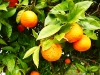 Reife Apfelsinen zur Selbstbedienung ...