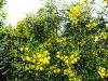Blühende Mimosen