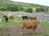 Viehzucht auf dem Land