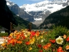 Iceland Poppies am Lake Louise