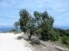 Olivenbaum am Wegesrand