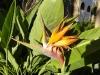 Blüte der Strelizie