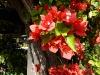 Rote Blüte der Bougainvilleia
