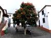 Afrikanischer Tulpenbaum in der Altstad