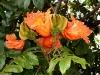 Blüte des Tulpenbaums