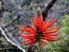 Blüte des Korallenbaums