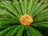 Blüte eines Riesenfarns