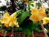 Gelbe Trompetenblume
