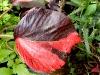 Busch mit zweifarbigen Blättern