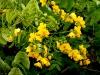 Cassia floribunda - Gewürzstrauch