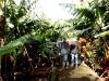 Auf einer Bananenplantage