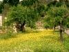Margeriten mit Olivenbäumen
