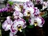 Orchideen in der Gärtnerei